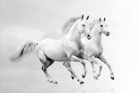 Weißen Pferden Standard-Bild - 14572855