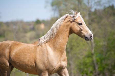 quarter horse: palomino stallion Stock Photo