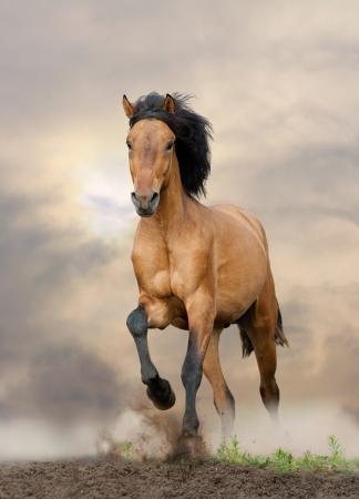 moving forward: wild stallion running in sunset