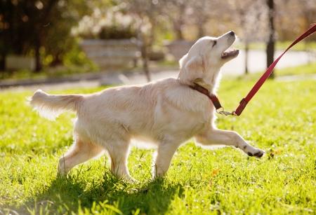 golden retriever puppy runs Stock Photo