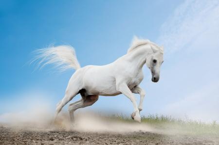 caballos corriendo: árabe blanco Foto de archivo