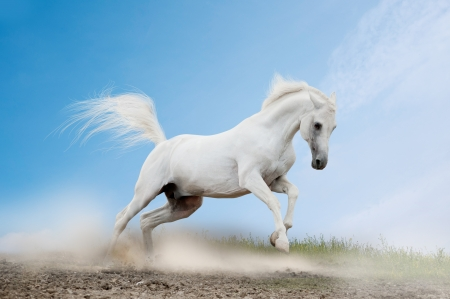 horse racing: white arabian