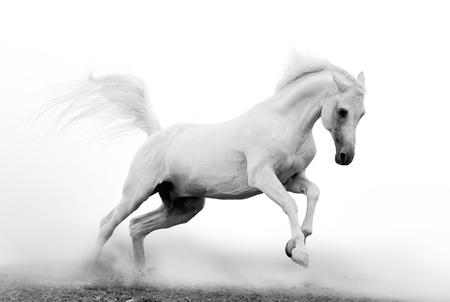 springpaard: witte Arabische hengst in stof