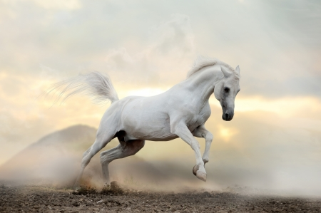 move forward: white arab stallion in dust Stock Photo