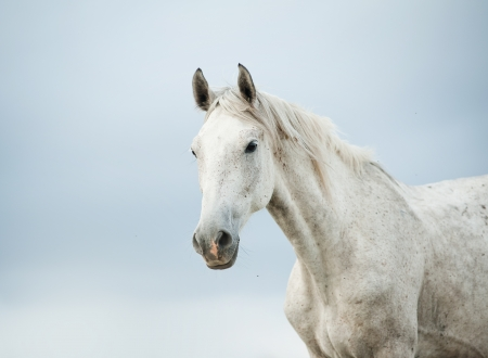 horse isolated: white horse