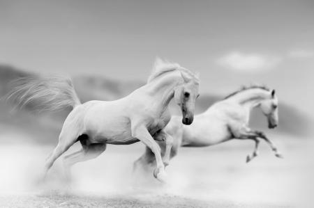 witte paarden in de woestijn Stockfoto