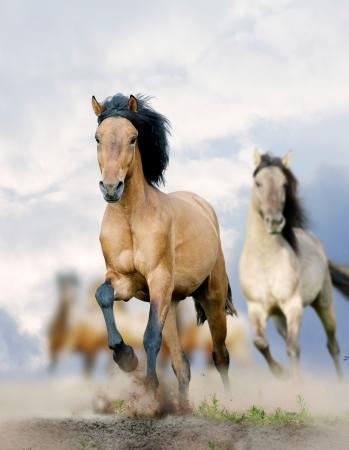 rancho: caballos en polvo Foto de archivo