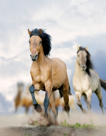 horses in the wild: horses in dust