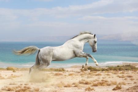 grey horses: horses in desert