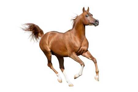 chestnut male: arab stallion isolated Stock Photo