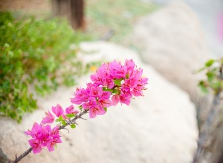 bougainvillea: a branch of bougainvillea on a stone