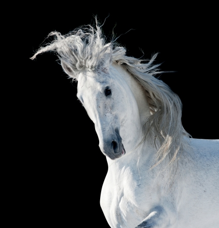shire horse: white andalusian stallion