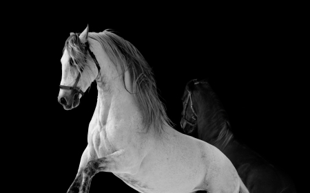 shire horse: horses fight Stock Photo