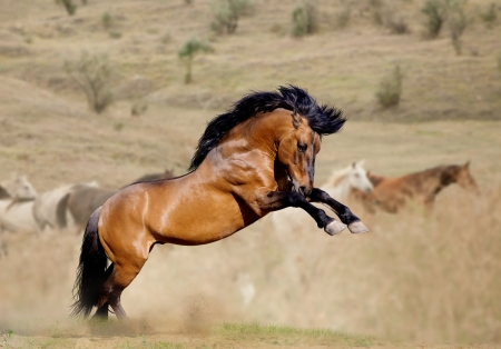 horses in the wild: stallion in dust