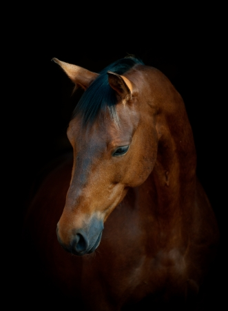 cabeza de caballo: caballo negro