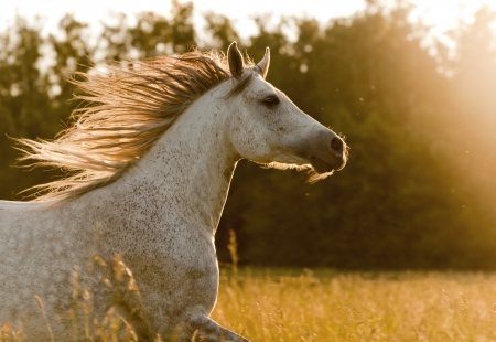 domestic horses: arab horse in sunset