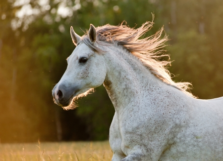 arabian horse photo