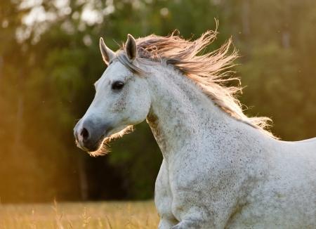 Arabský kůň Reklamní fotografie