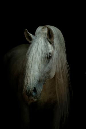 Andalusische paard op zwart