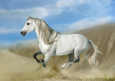 galloping: andalusian stallion in desert