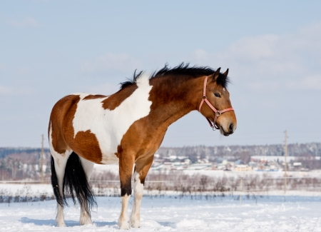 appaloosa: pinto horse Stock Photo