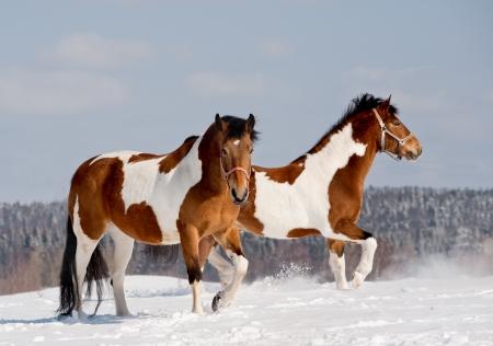 pinto: pinto horses