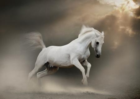 black horse: blanco semental árabe en polvo