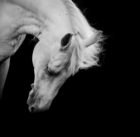 grey horses: white horse on a black Stock Photo