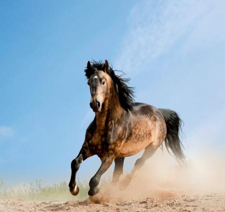 black horse: semental salvaje en polvo Foto de archivo