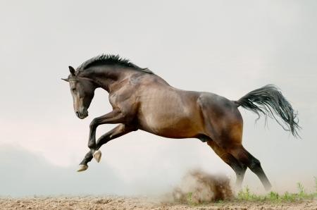 gray horse: bay stallion plays