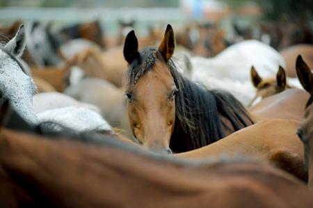アラビアの馬の群れ 写真素材