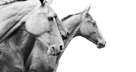 純血種の馬