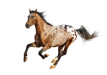 アパルーサ種牡馬