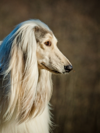 afghan dog photo