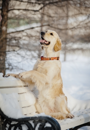 retriever in a park photo
