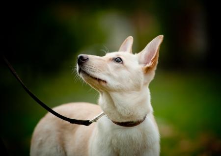 obediencia: cachorro mirando propietario