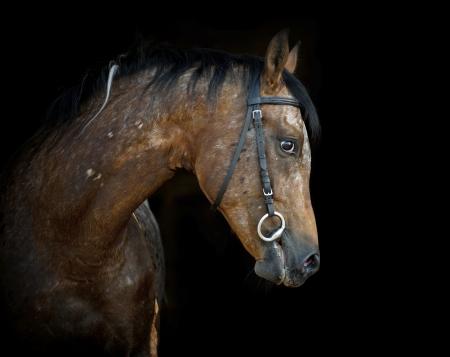 bridle: appaloosa stallion on black Stock Photo
