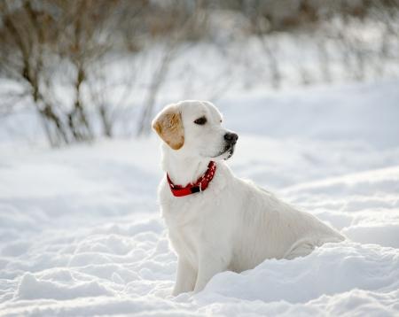 retriever puppy in de sneeuw