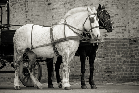 horse cart: horses in carriage