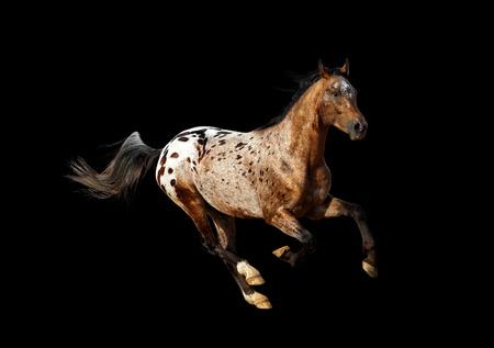 appaloosa: appaloosa stallion