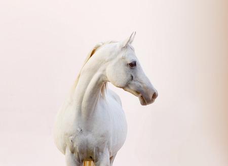 arabisches Pferd im Sonnenuntergang