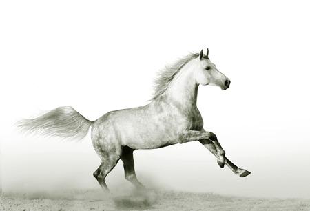 dapple horse: stallion in dust