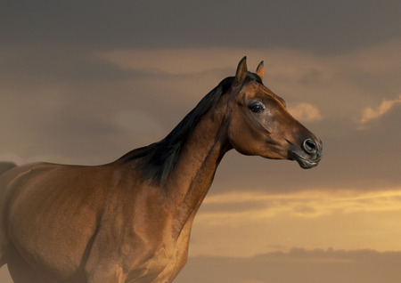 mustang horses: arabian horse in sunset