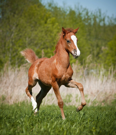 trotting: little foal