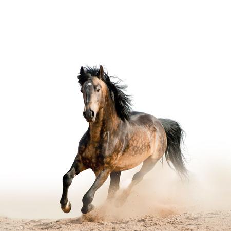 wild prairie: Stallion on a white Stock Photo