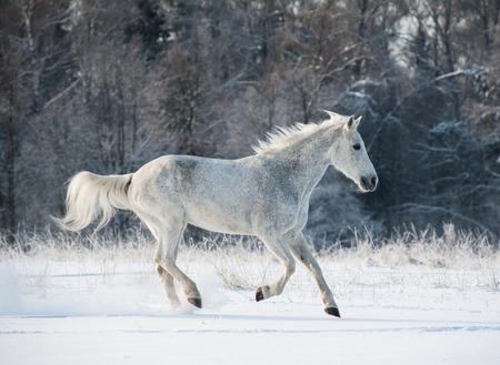 gray horse: winter horse Stock Photo