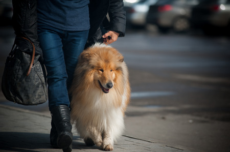 owner with collie walking photo