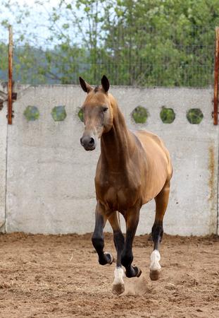 akhal-teke horse runs Stock Photo