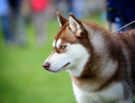 husky close up photo