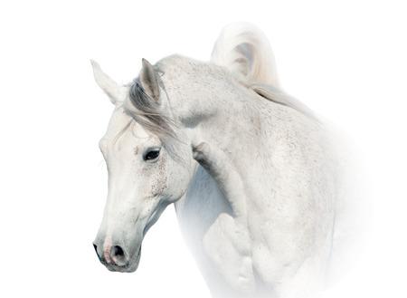 horse stable: white arabian horse